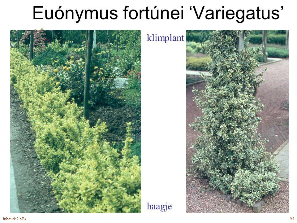 Euónymus fortúnei 'Variegatus'