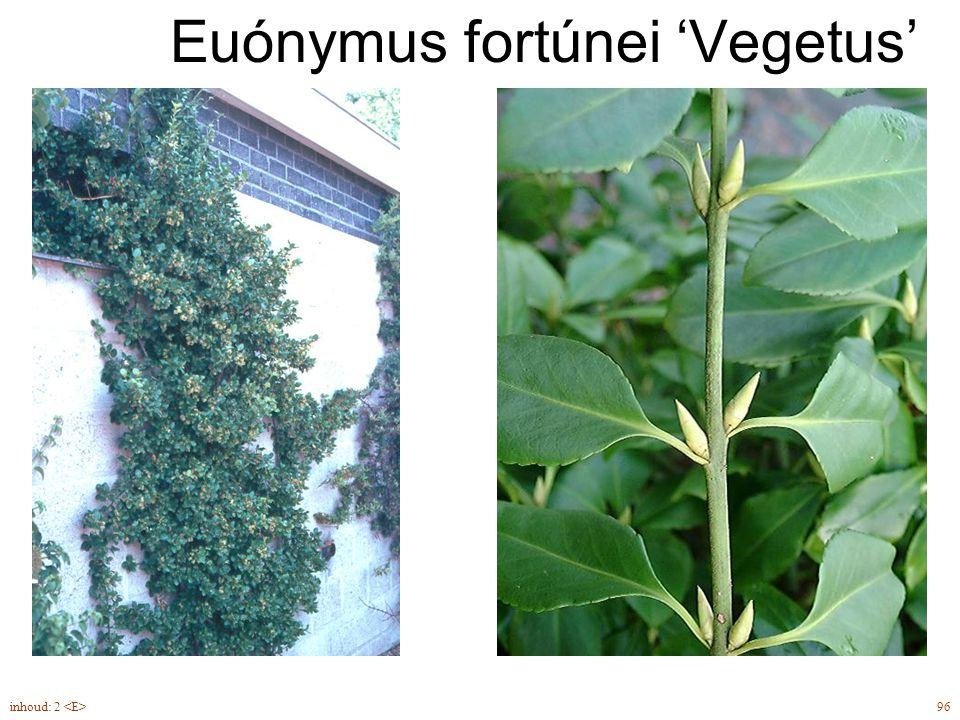 Euónymus fortúnei 'Vegetus'