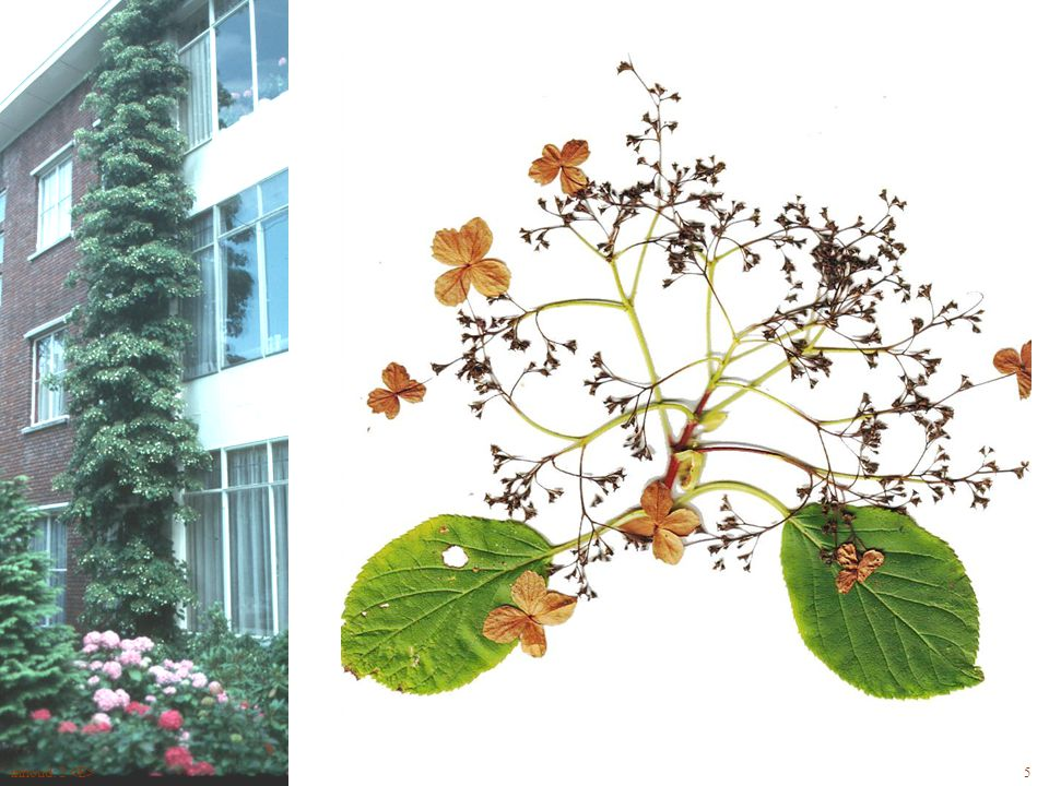 Hydrangea anomala bloem
