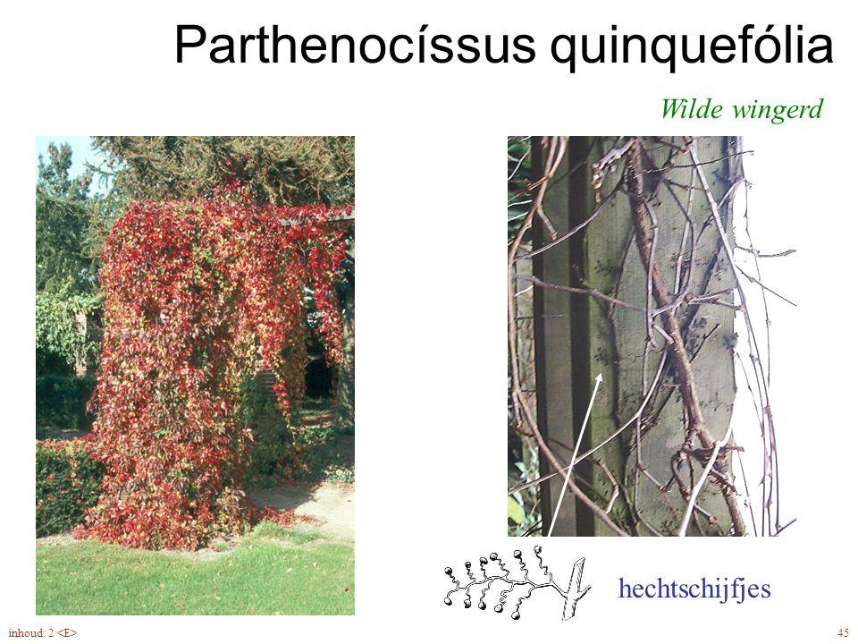 Parthenocíssus quinquefólia