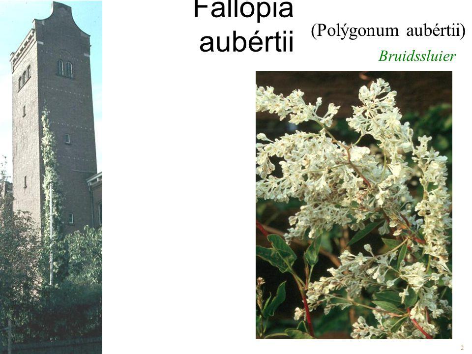 Fallópia aubértii (Polýgonum aubértii) Bruidssluier