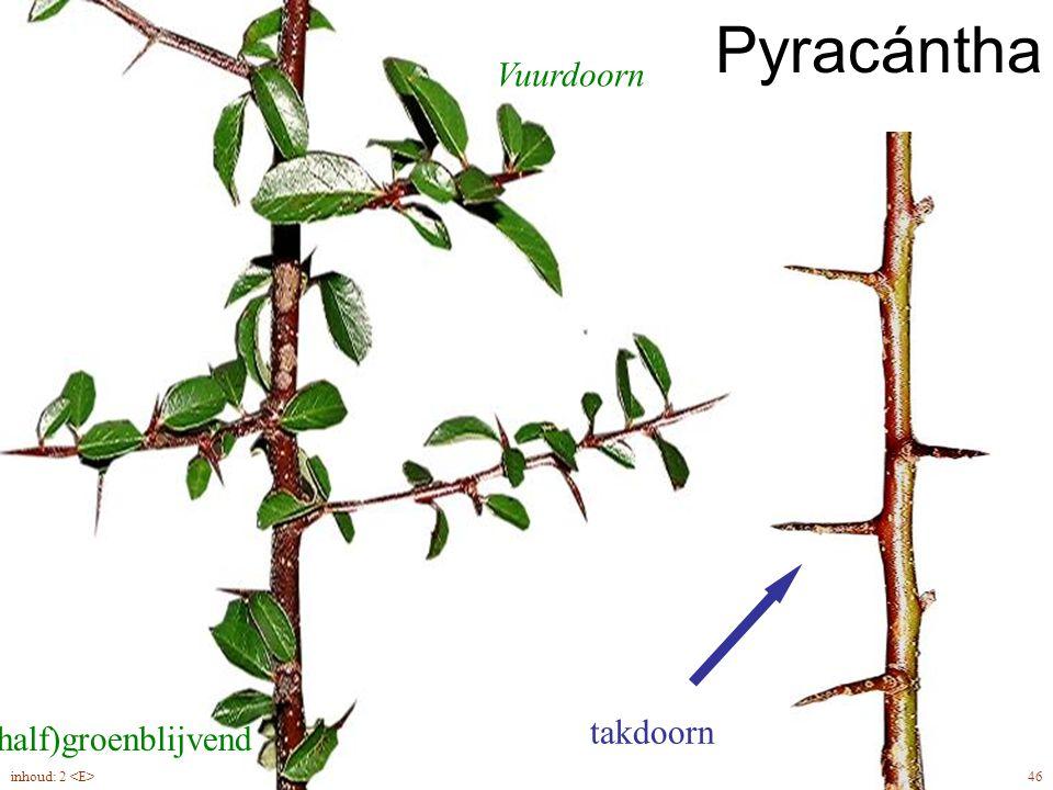 Pyracántha Vuurdoorn takdoorn (half)groenblijvend inhoud: 2 <E>