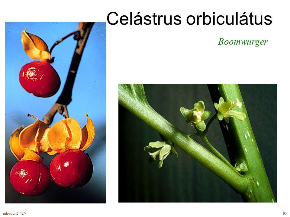 Celástrus orbiculátus