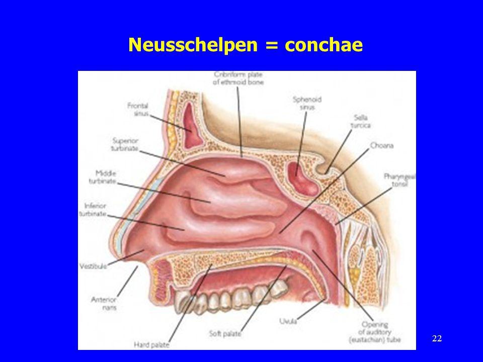 Neusschelpen = conchae