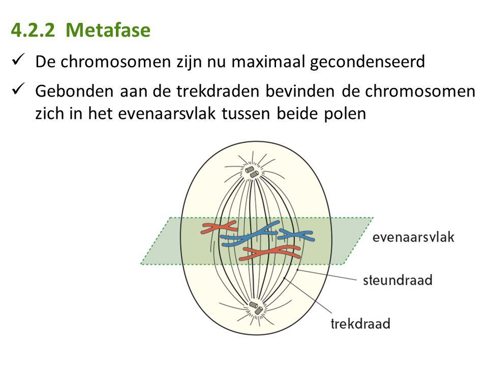 4.2.2 Metafase De chromosomen zijn nu maximaal gecondenseerd