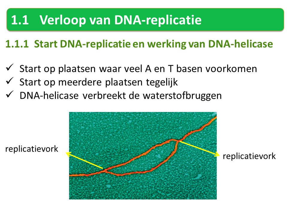 1.1 Verloop van DNA-replicatie