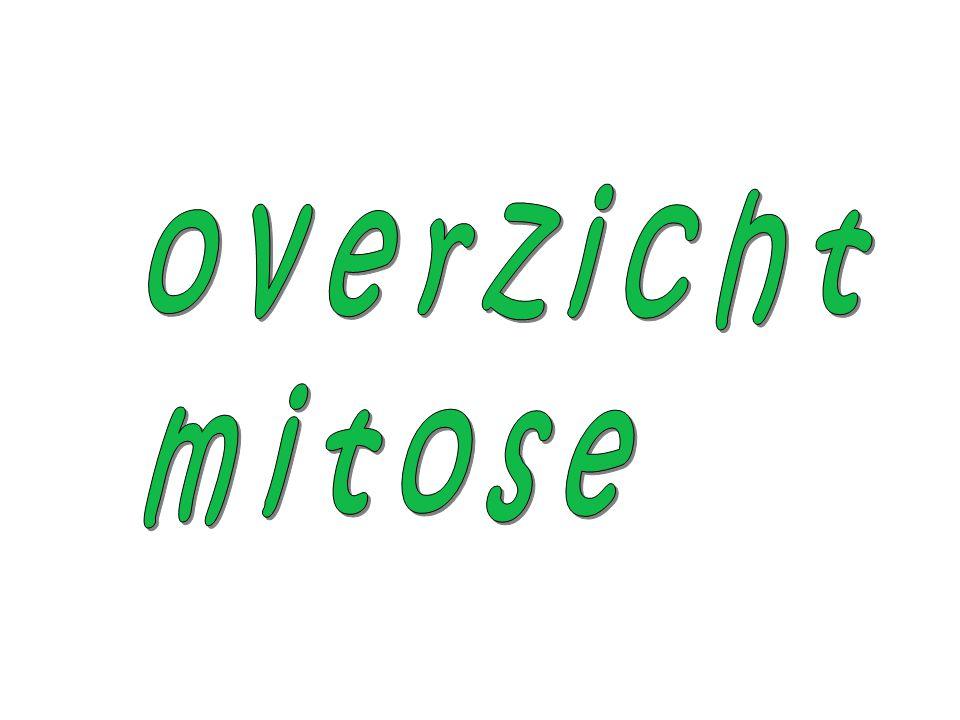 overzicht mitose