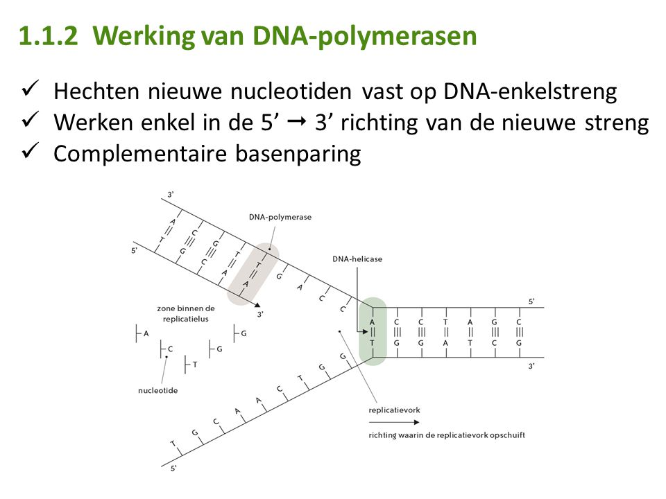 1.1.2 Werking van DNA-polymerasen