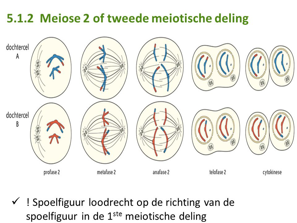5.1.2 Meiose 2 of tweede meiotische deling