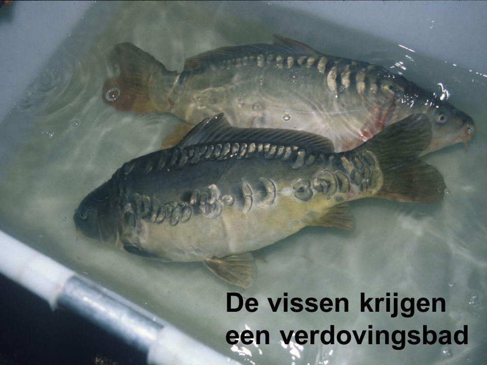 De vissen krijgen een verdovingsbad