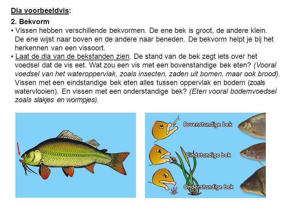 Dia voorbeeldvis: 2. Bekvorm. Vissen hebben verschillende bekvormen. De ene bek is groot, de andere klein.