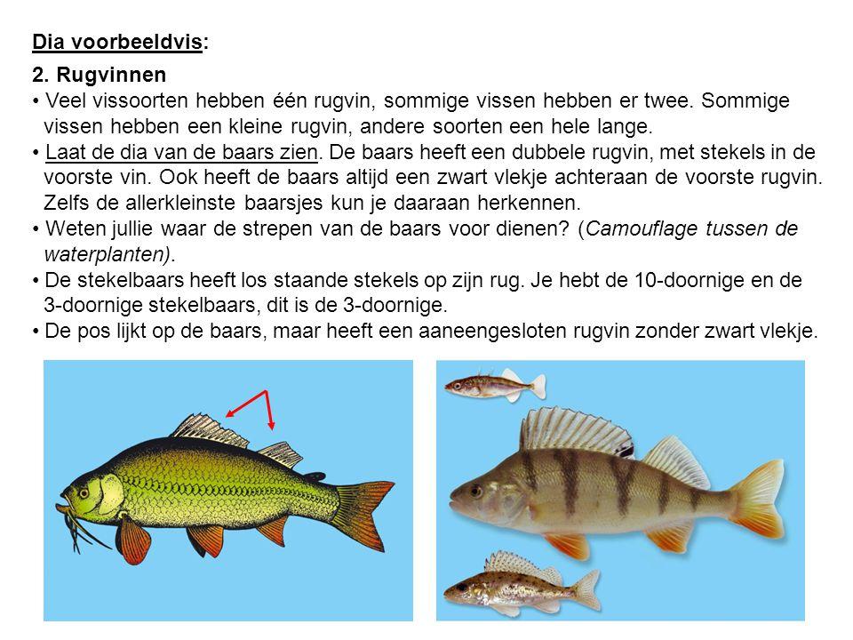 Dia voorbeeldvis: 2. Rugvinnen. Veel vissoorten hebben één rugvin, sommige vissen hebben er twee. Sommige.