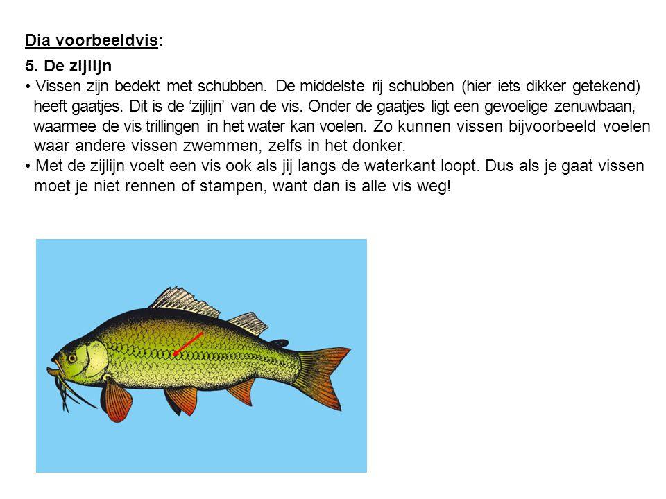 Dia voorbeeldvis: 5. De zijlijn. Vissen zijn bedekt met schubben. De middelste rij schubben (hier iets dikker getekend)