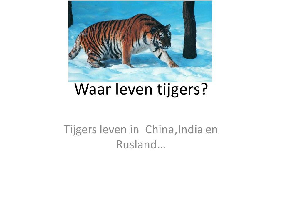 Tijgers leven in China,India en Rusland…