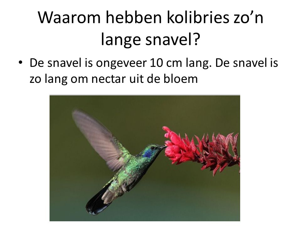 Waarom hebben kolibries zo'n lange snavel