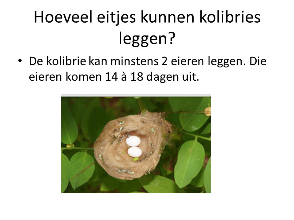 Hoeveel eitjes kunnen kolibries leggen