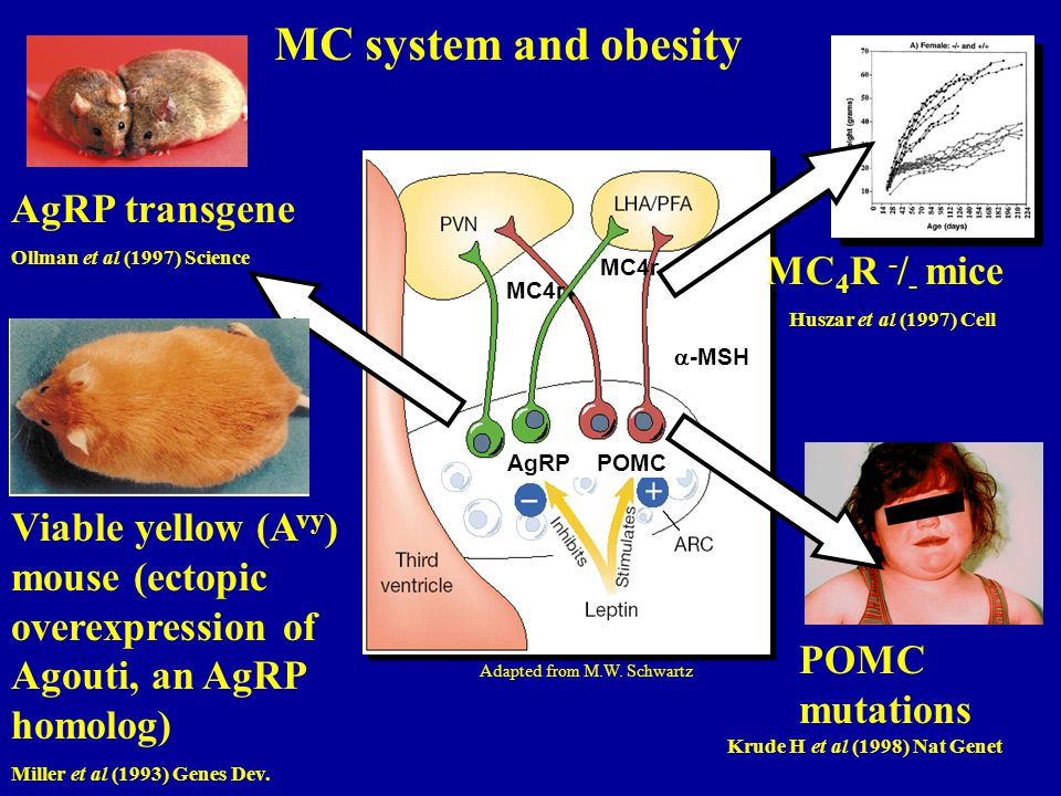 MC system and obesity AgRP transgene MC4R -/- mice