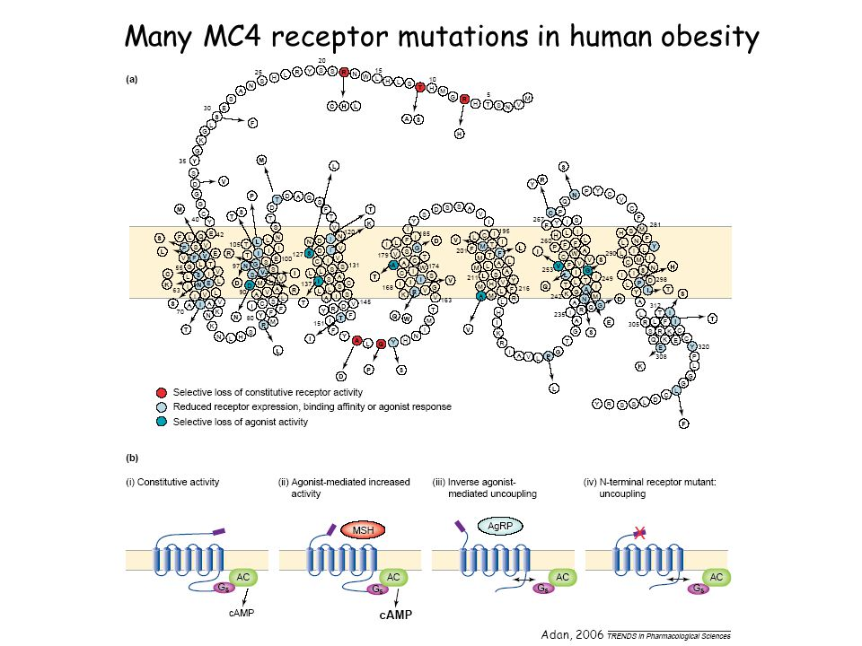 Many MC4 receptor mutations in human obesity