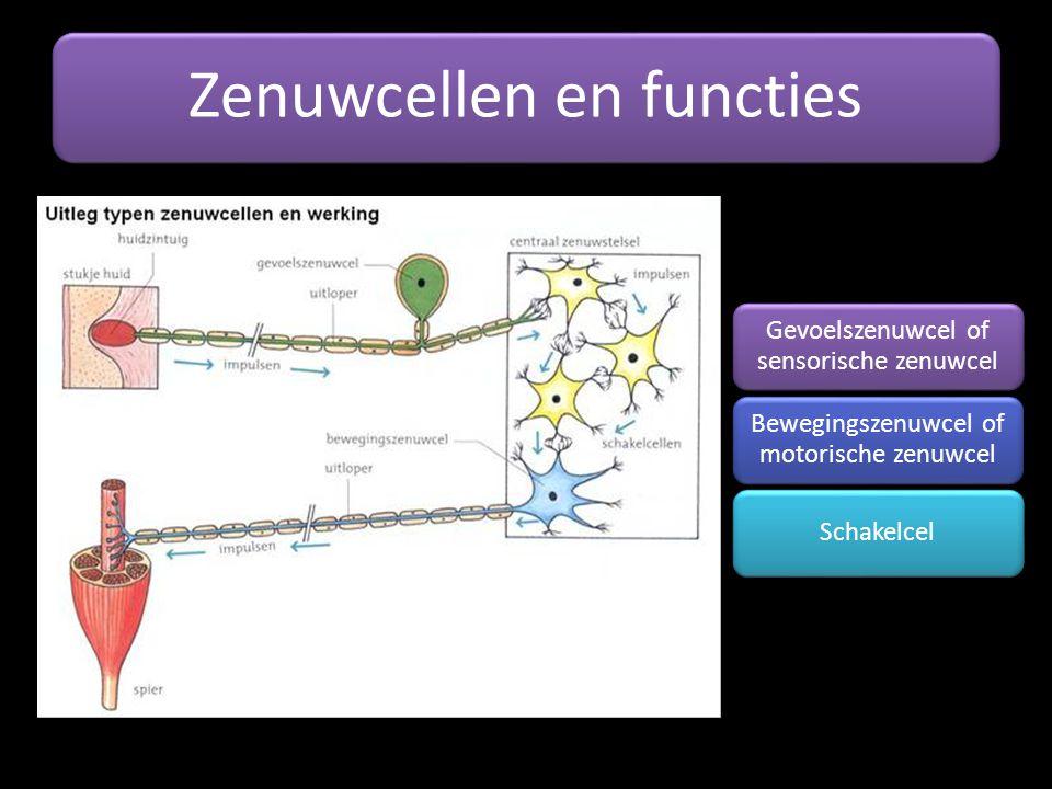 Zenuwcellen en functies