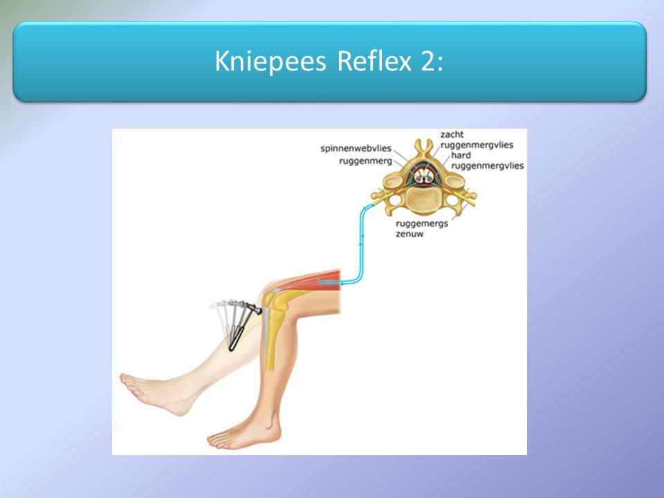 Kniepees Reflex 2: