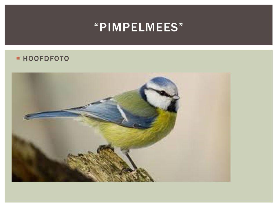 Pimpelmees HOOFDFOTO