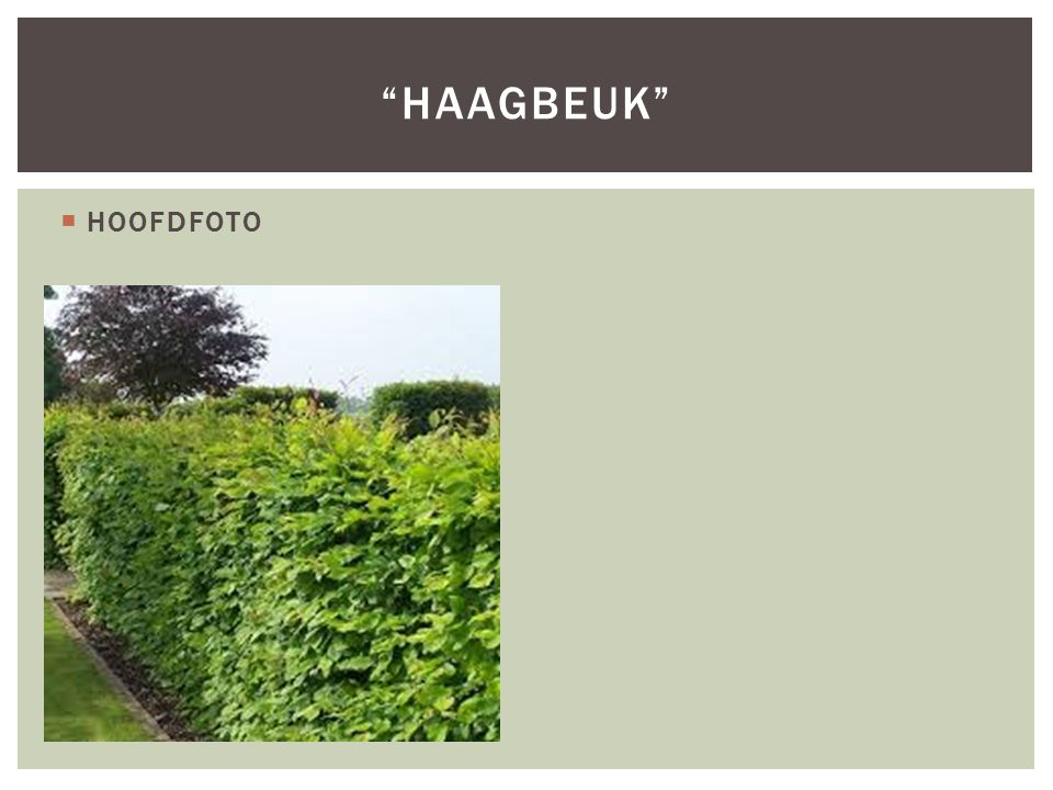 Haagbeuk HOOFDFOTO