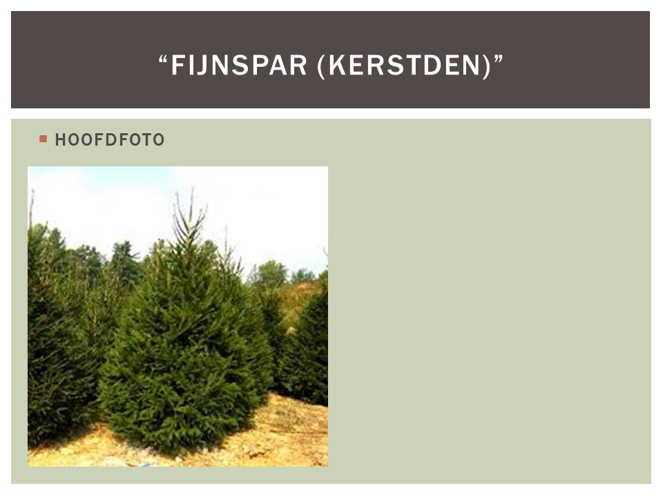 fijnspar (kerstden)