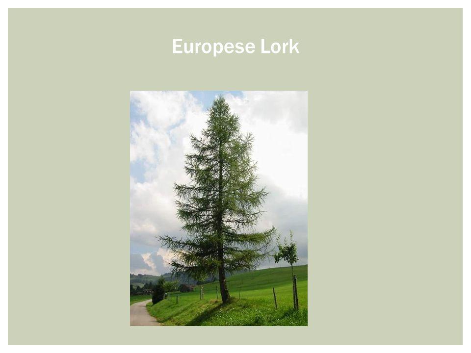 Europese Lork