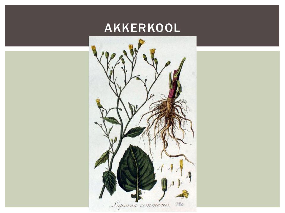 Akkerkool