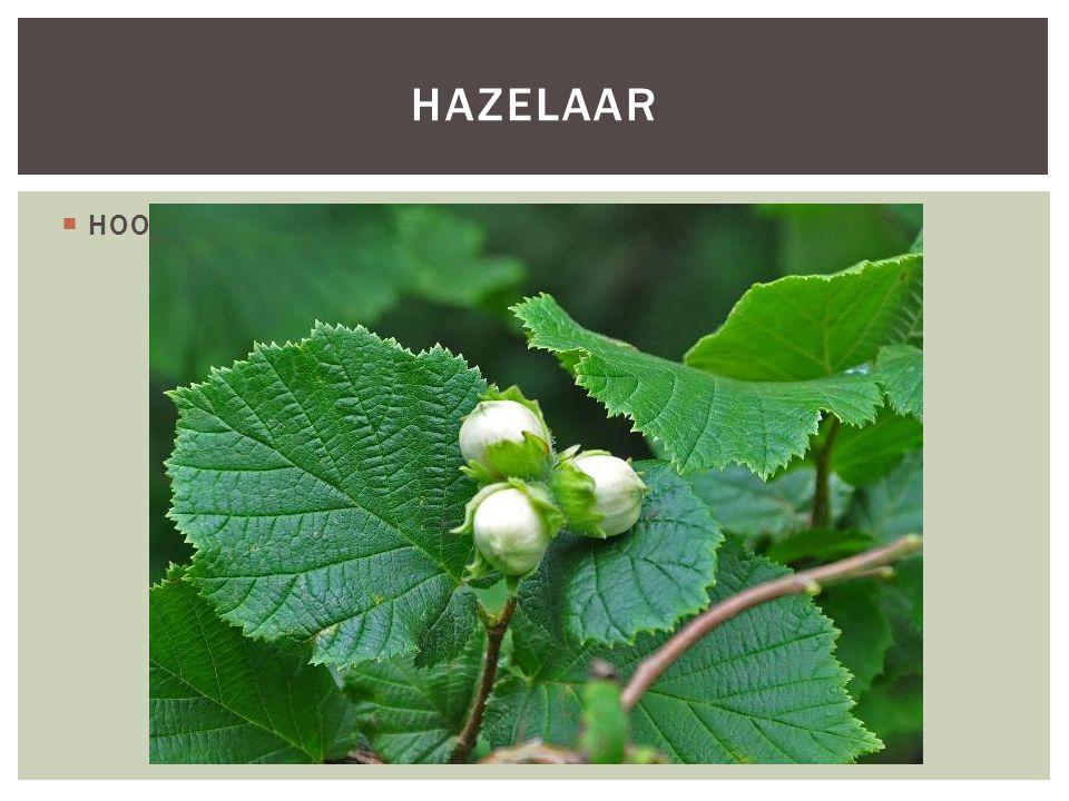 Hazelaar HOOFDFOTO