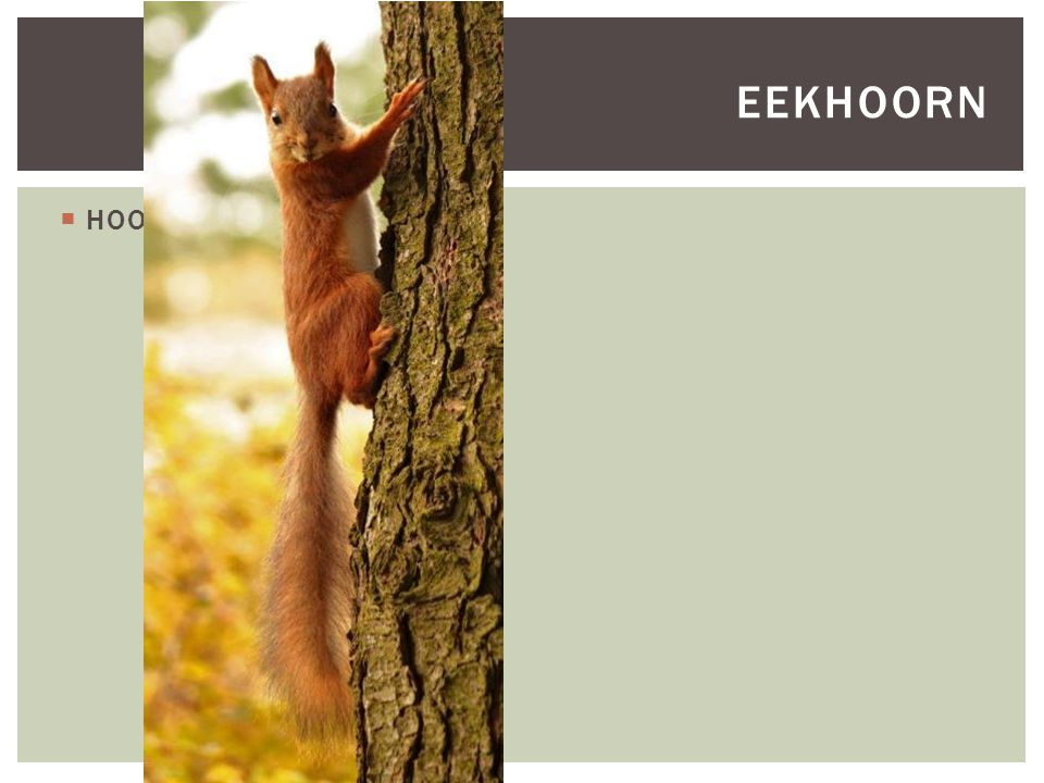 Eekhoorn HOOFDFOTO
