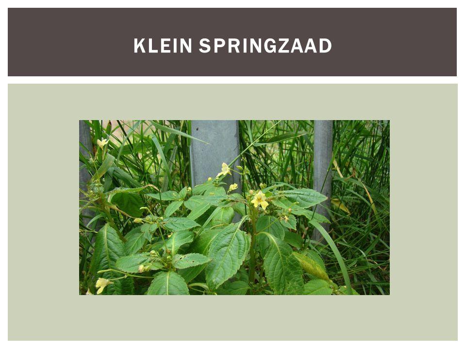 Klein springzaad