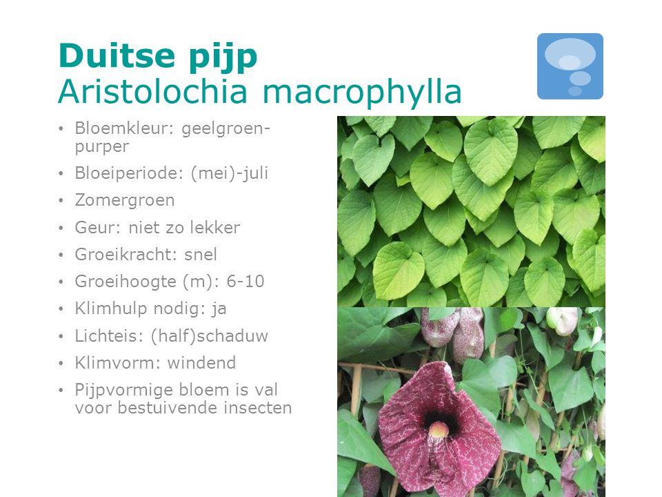 Duitse pijp Aristolochia macrophylla