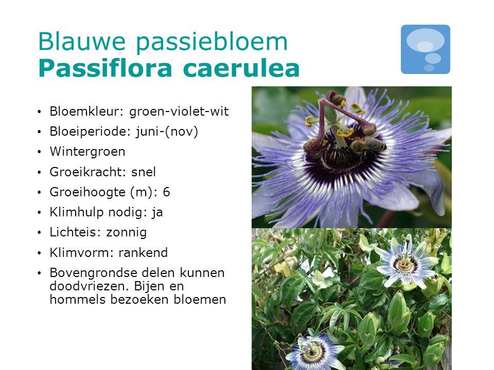 Blauwe passiebloem Passiflora caerulea