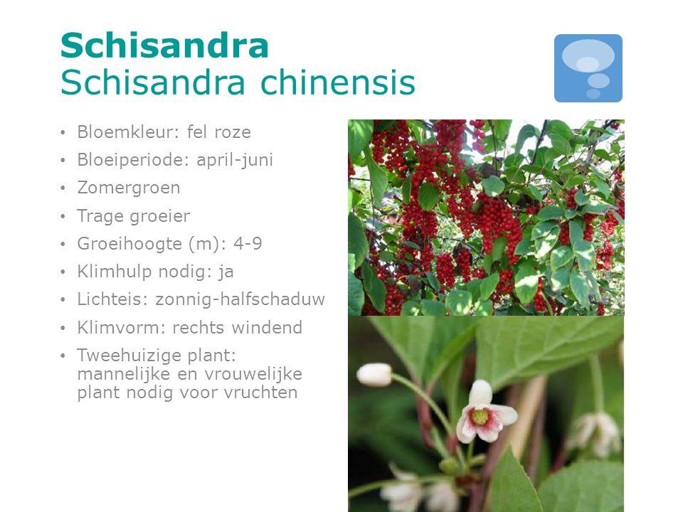 Schisandra Schisandra chinensis