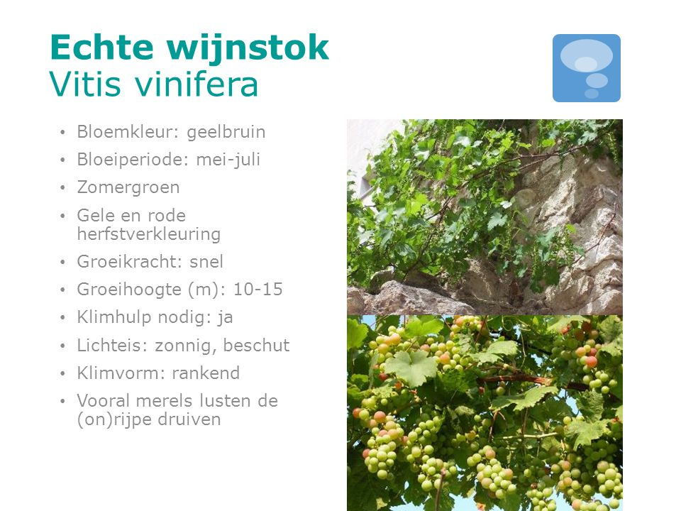 Echte wijnstok Vitis vinifera