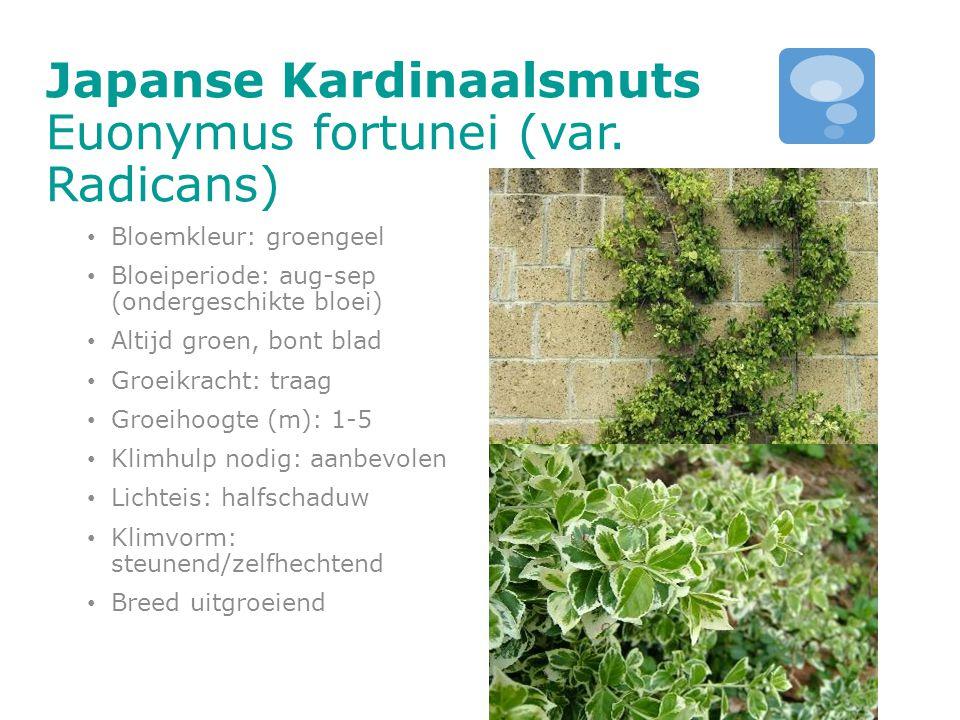 Japanse Kardinaalsmuts Euonymus fortunei (var. Radicans)
