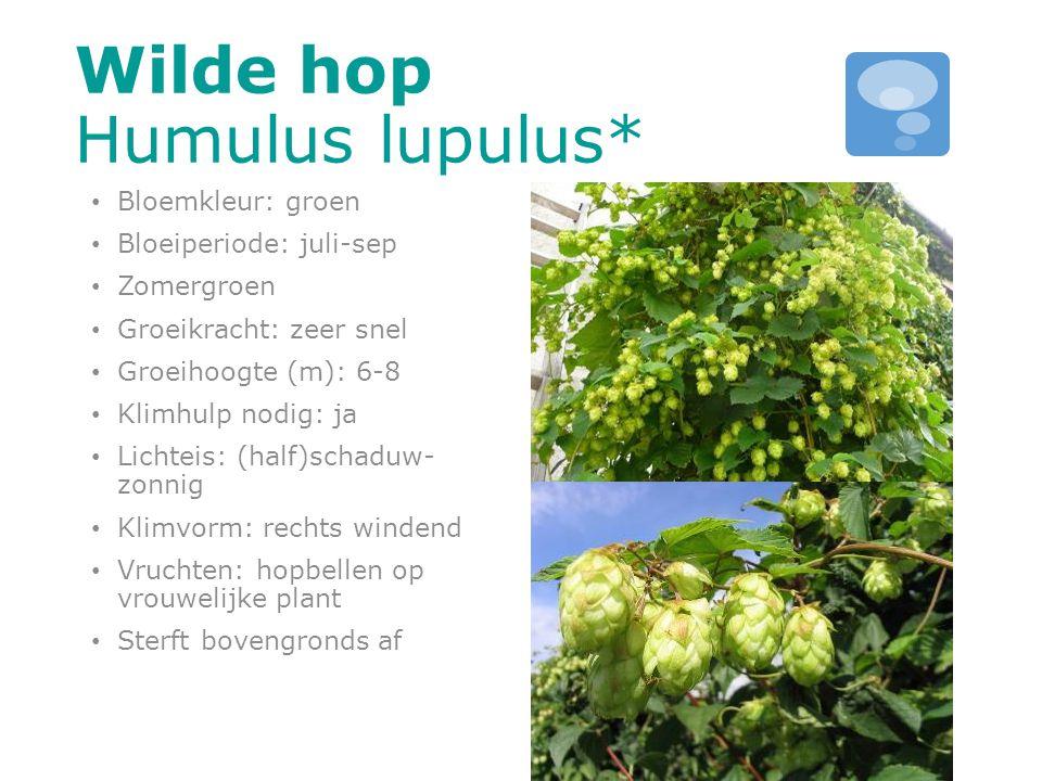 Wilde hop Humulus lupulus*