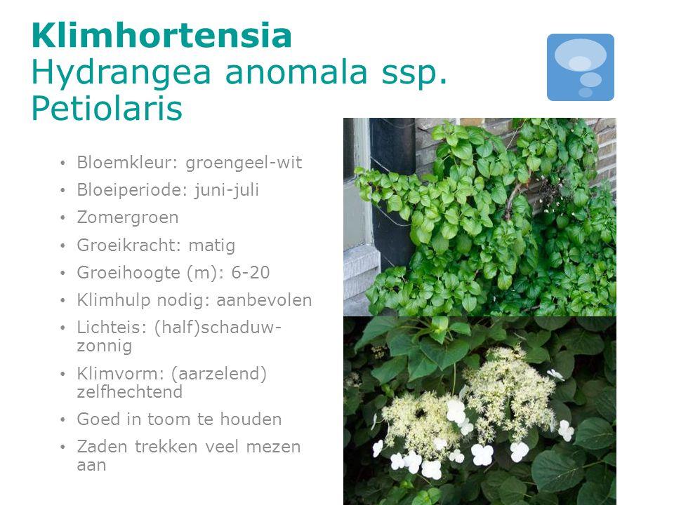 Klimhortensia Hydrangea anomala ssp. Petiolaris