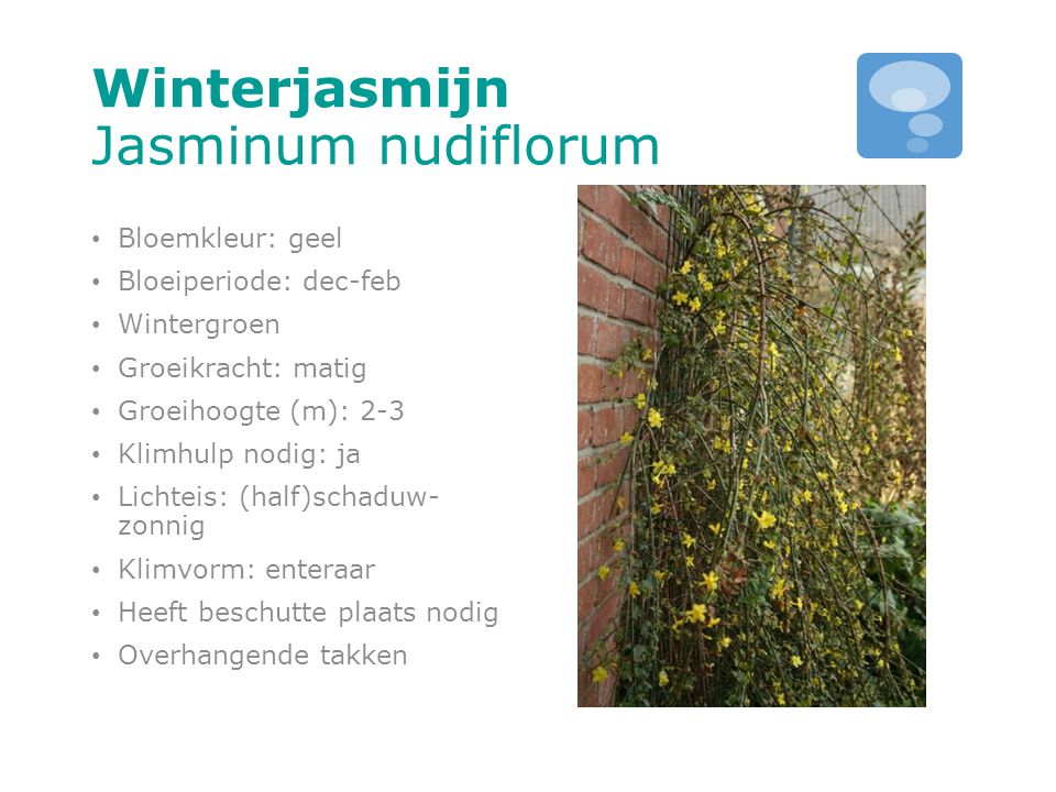 Winterjasmijn Jasminum nudiflorum