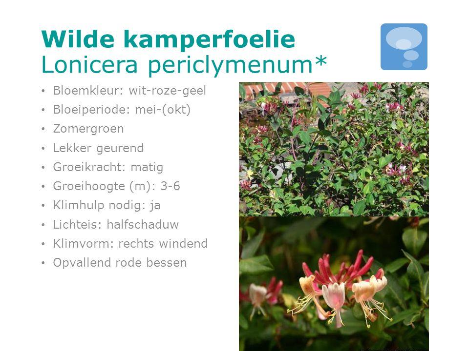 Wilde kamperfoelie Lonicera periclymenum*