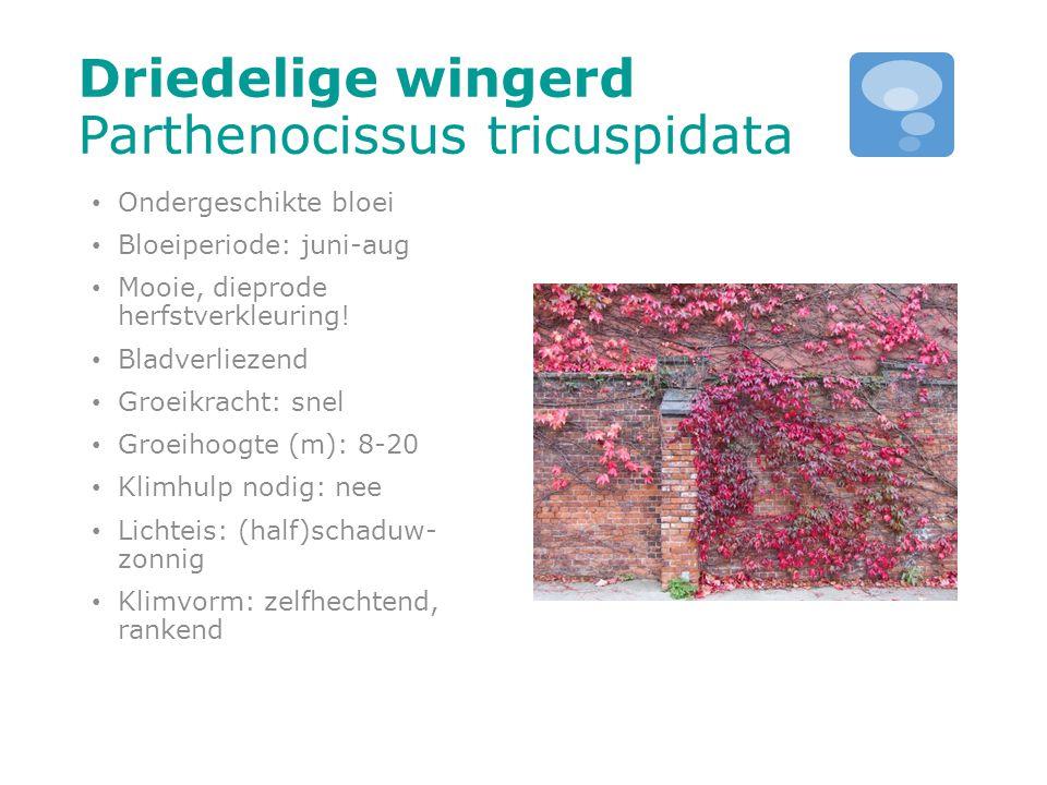 Driedelige wingerd Parthenocissus tricuspidata