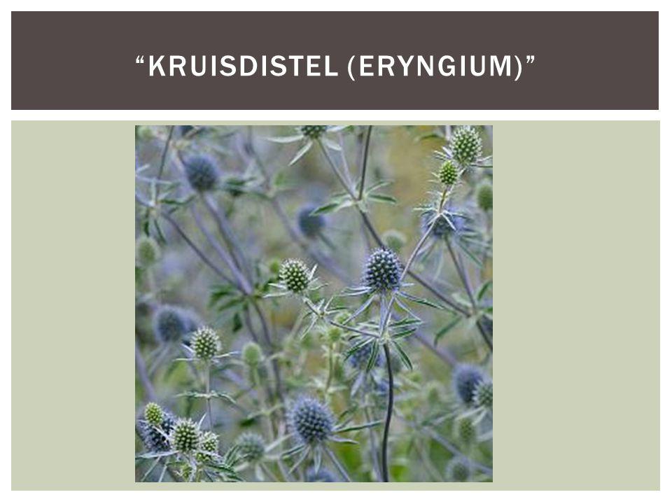 kruisdistel (Eryngium)