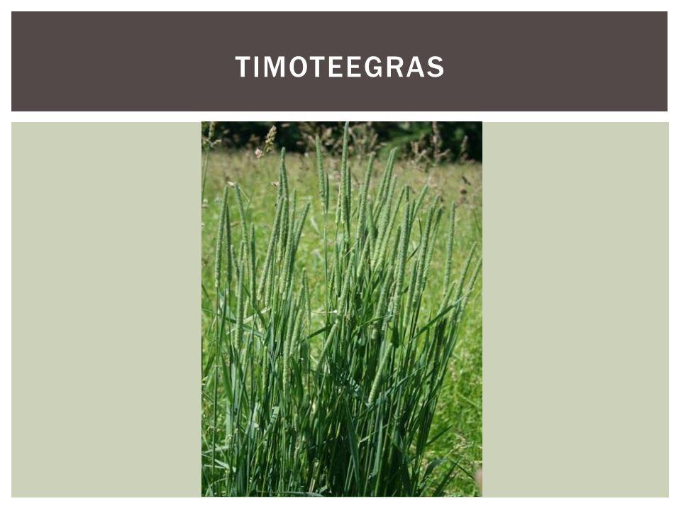 Timoteegras