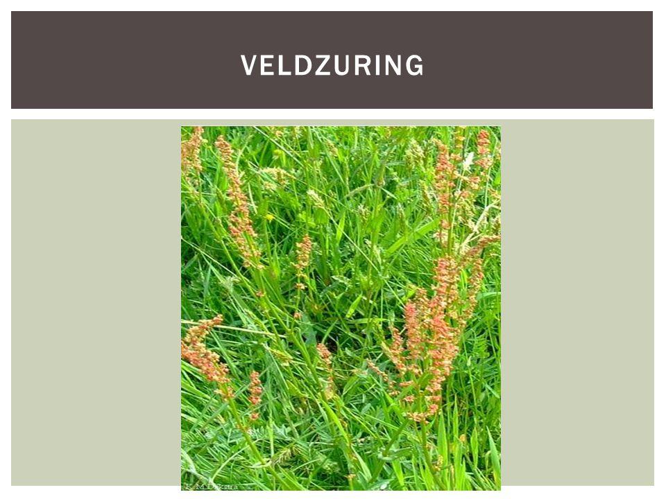 Veldzuring