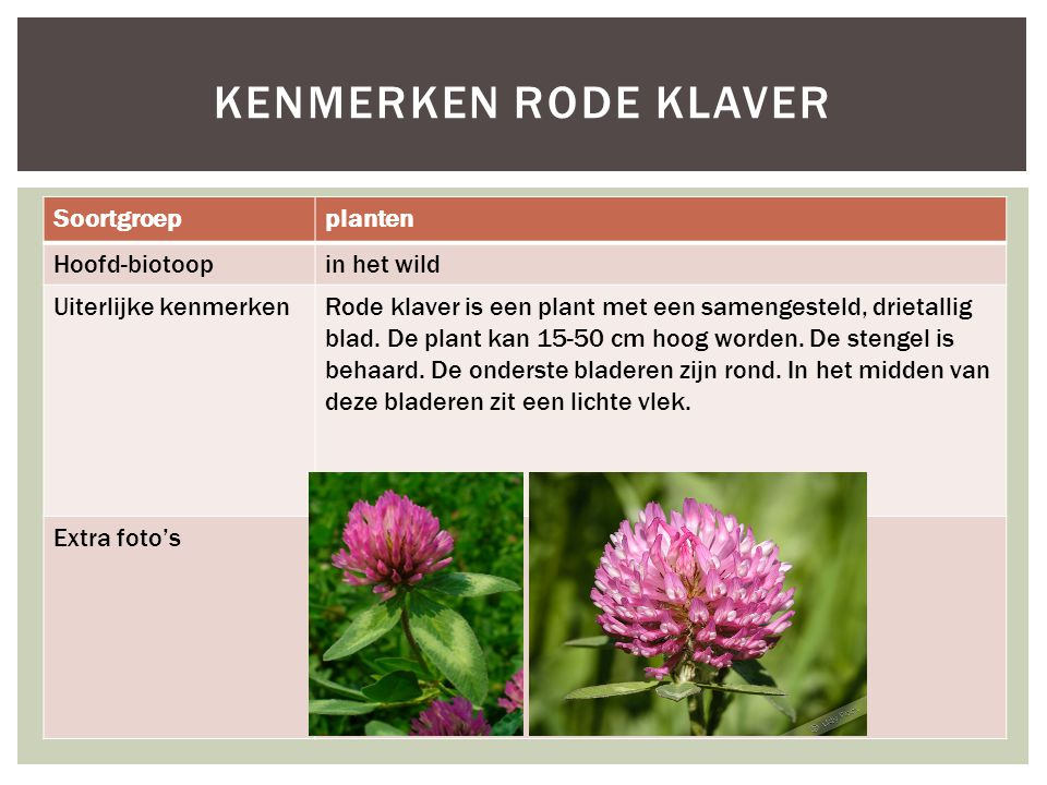 Kenmerken rode klaver Soortgroep planten Hoofd-biotoop in het wild