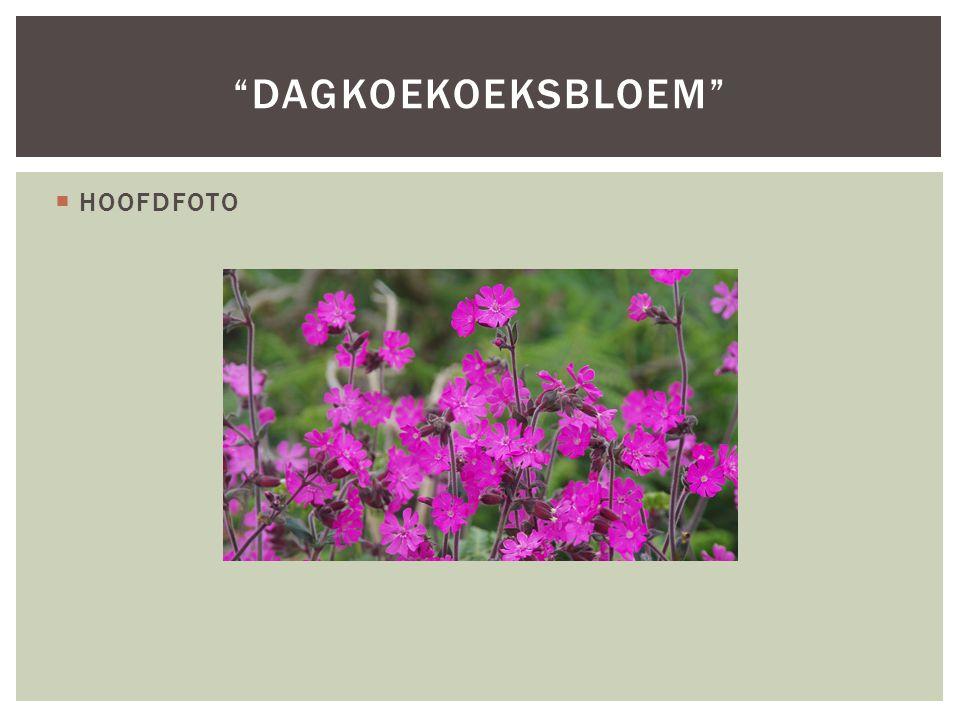 Dagkoekoeksbloem HOOFDFOTO