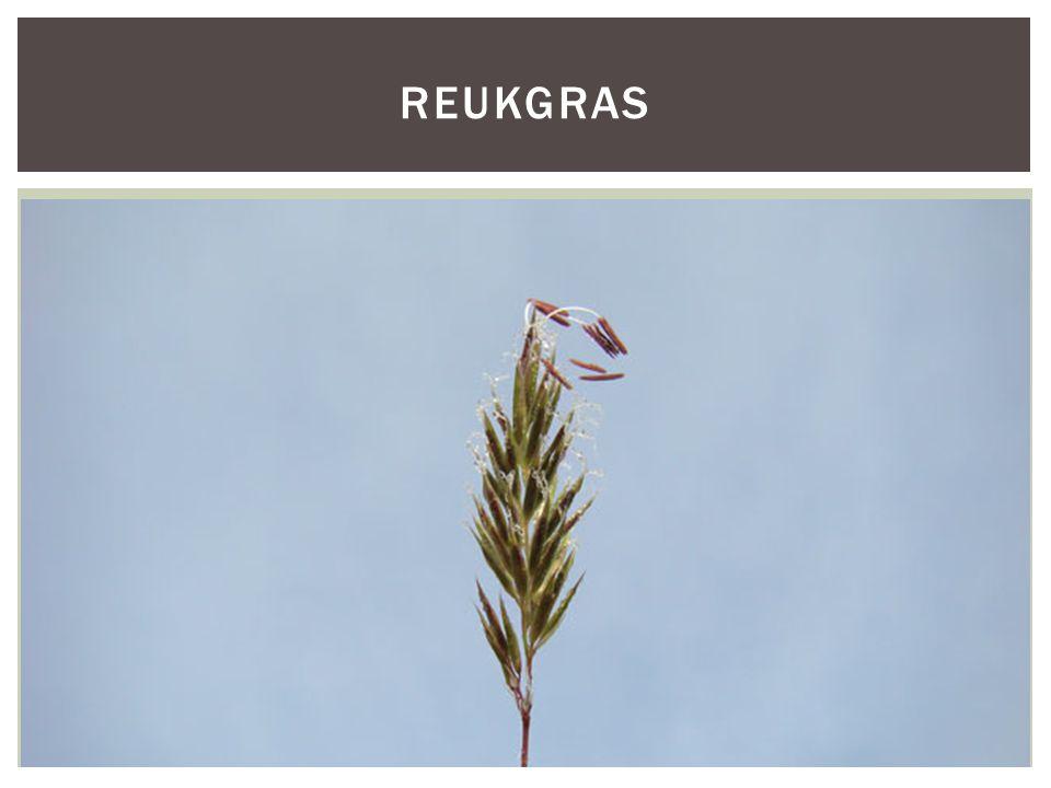 Reukgras HOOFDFOTO