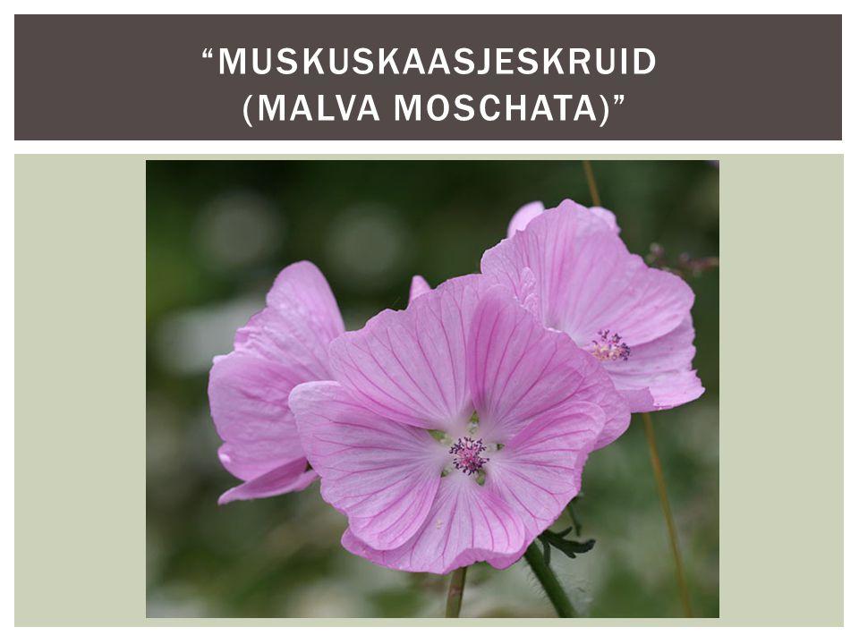 muskuskaasjeskruid (Malva moschata)