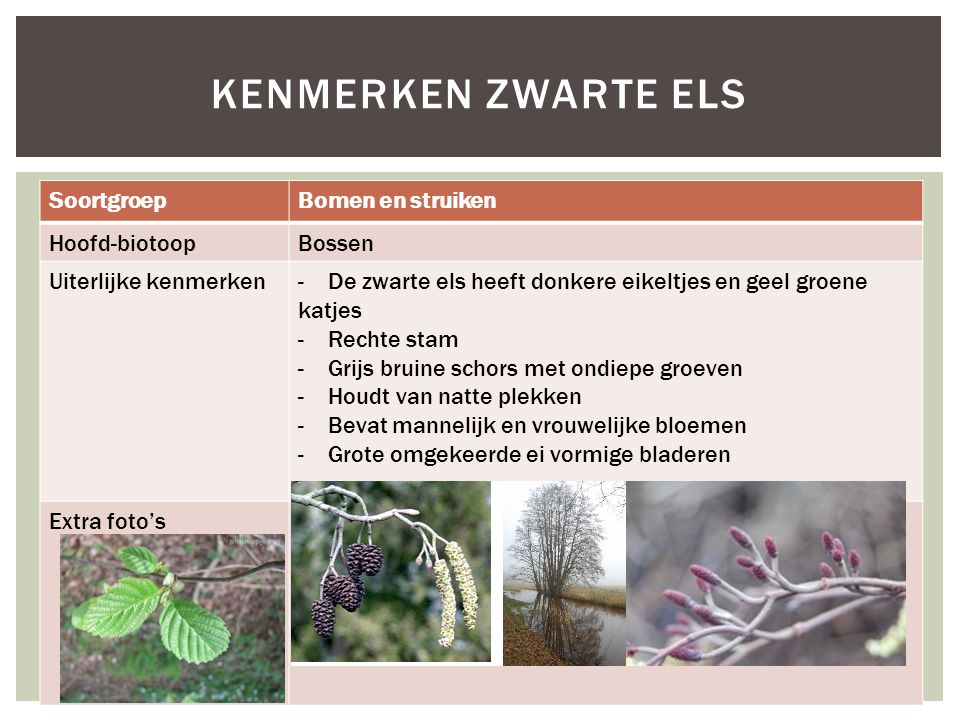 Kenmerken zwarte els Soortgroep Bomen en struiken Hoofd-biotoop Bossen
